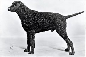 Siccawei Alecto, Sam. Curly coated retriever